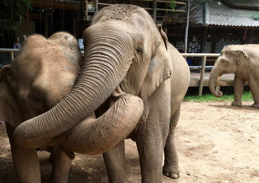 Happy Elephants in Phuket - Elephant Nature Park is to be opened